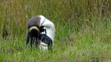 Penguin Grooming
