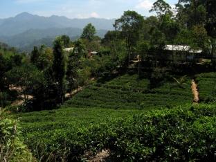Tea Plantation Ella Rock