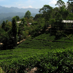 Tea Plantation Ella Rock