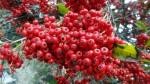 Backroads Pyracantha Closeup