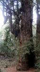 Jack London SHP Redwood1