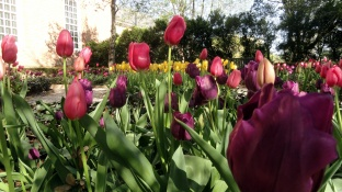 Purple & Red Tulips