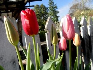 Williamsburg Gate & Tulips