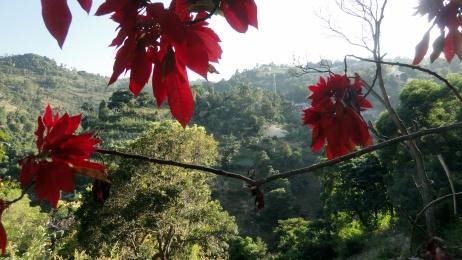 Poinsettia on Montagne Noir 2