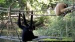 artis-golden-cheeked-gibbons