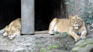 artis-lion-kids