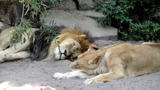 artis-lion-parents