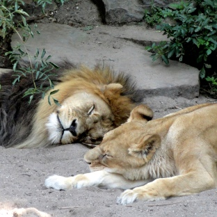 artis-lion-parents