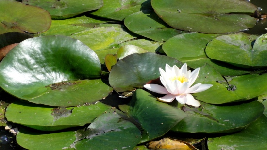 artis-water-lily