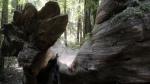 fallen-redwood