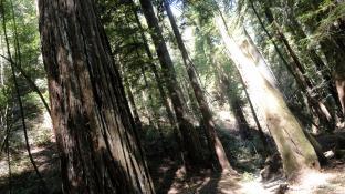 redwood-trunks-2