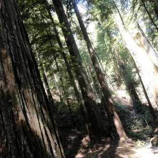 redwood-trunks-2