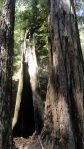 redwood-trunks