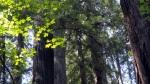 sunlit-leaves-redwoods
