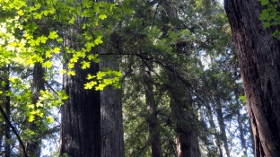 sunlit-leaves-redwoods
