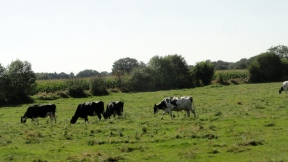 cows-at-work