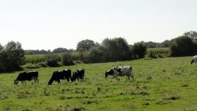 cows-at-work
