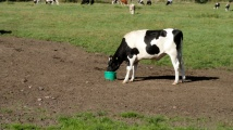 its-a-cow