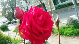 santa-rose-a