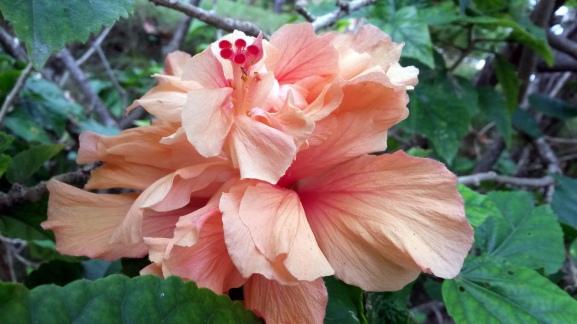 Hibiscus