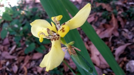 Yellow Lily - Office Garden