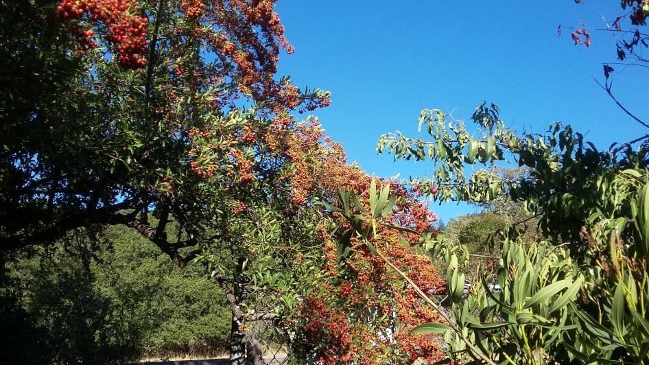 170928 Annadell Trees 2