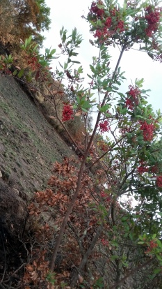 171112 Annadel berry tree on fireline