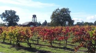 Fall Foliage - Vineyards