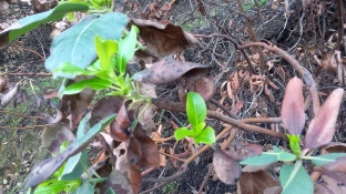 171211 new growth -burned tree