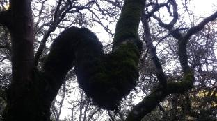 180106 Taylor Mtn Tree Bend