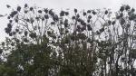 Social Weaver Bird Tree2