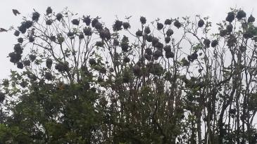 Social Weaver Bird Tree 2