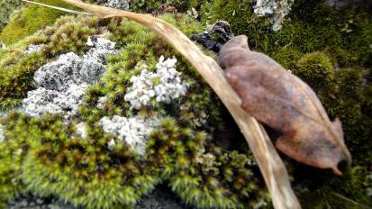 1810 Annadel Moss on Rock