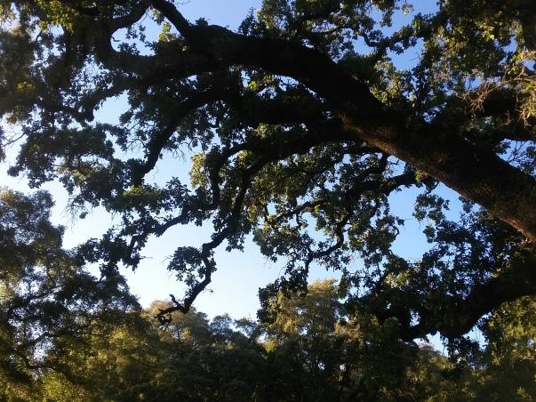 Live Oak 1