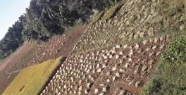 1811 Rice Harvesting 1