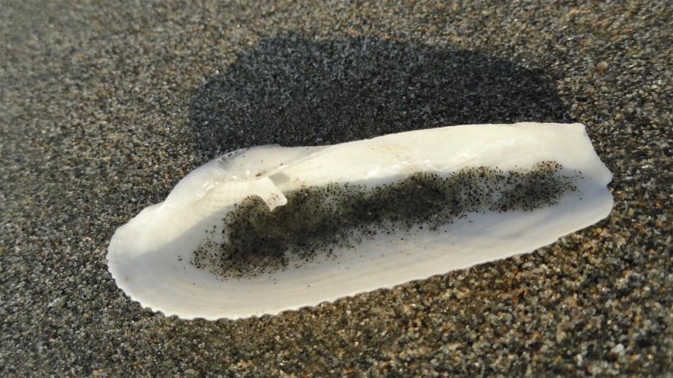 cox's beach sandy shell
