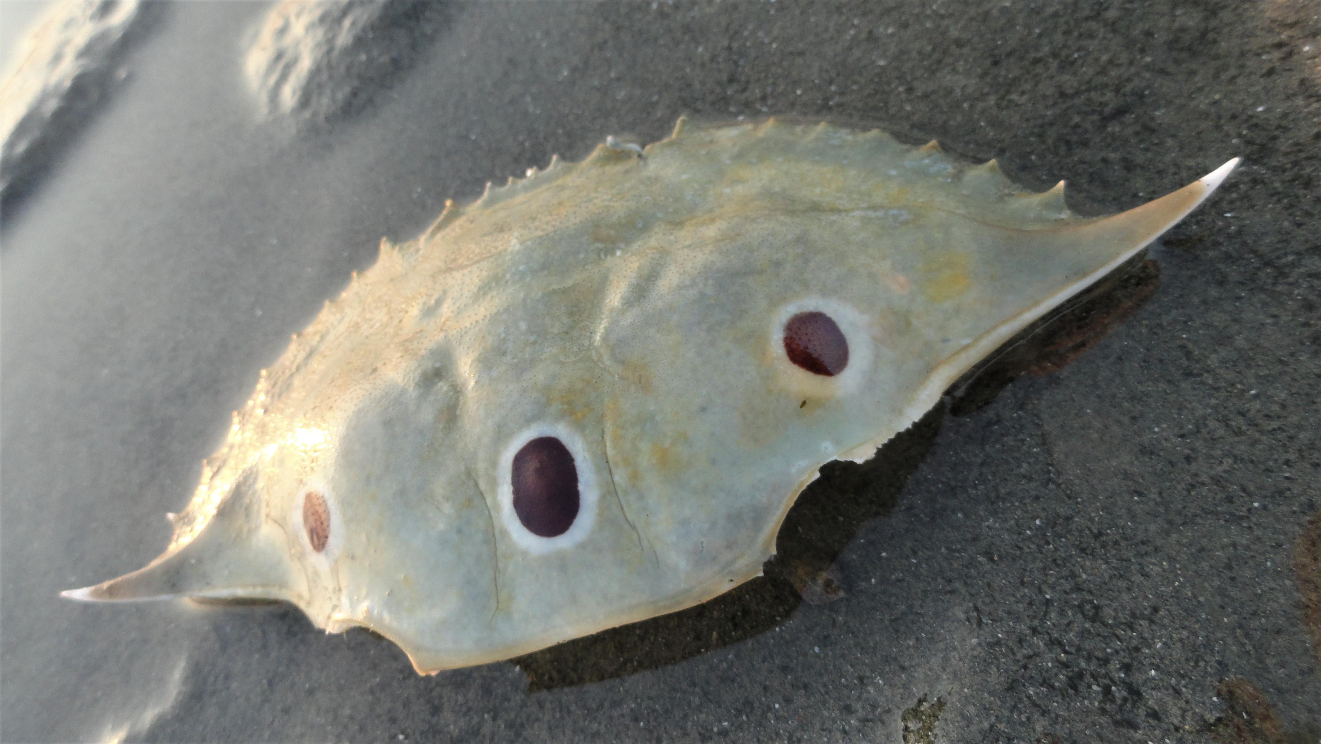 crab shell - fake eyes