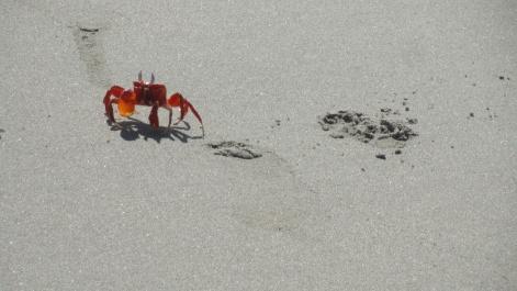 sandcrab26pawprints