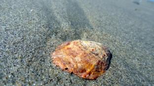 Rust-Red & Cream Shell