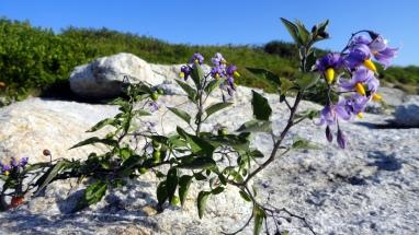 Purple on the Rocks