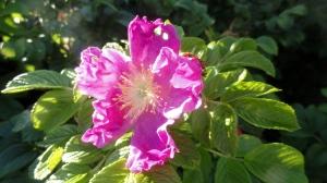 Sea Rose