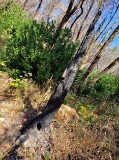 191005 Gunsight Rock Trail Burnt Sapling