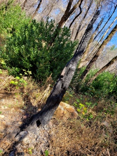 191005 Gunsight Rock Trail Burnt Sapling