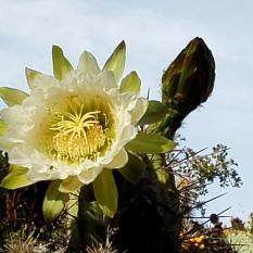 191019 Cactus Blossom