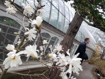 Phipps Star Magnolia Outside