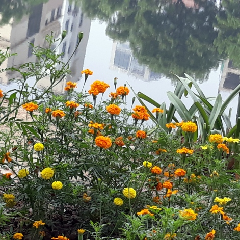 Marigolds & Banani Lake