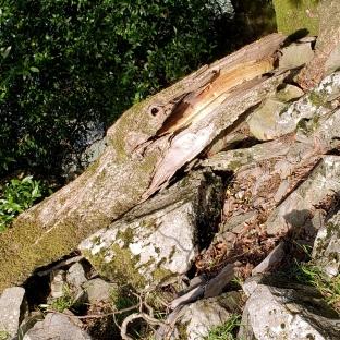 Umbrella Tree Snake Log