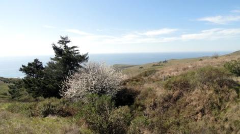 Jenner Headlands Preserve - Coastline & Flowering Tree 2