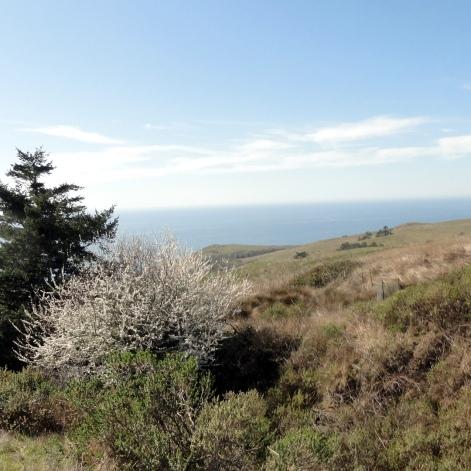 Jenner Headlands Preserve - Coastline & Flowering Tree