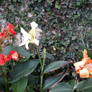 Canna Lilies & Ivy